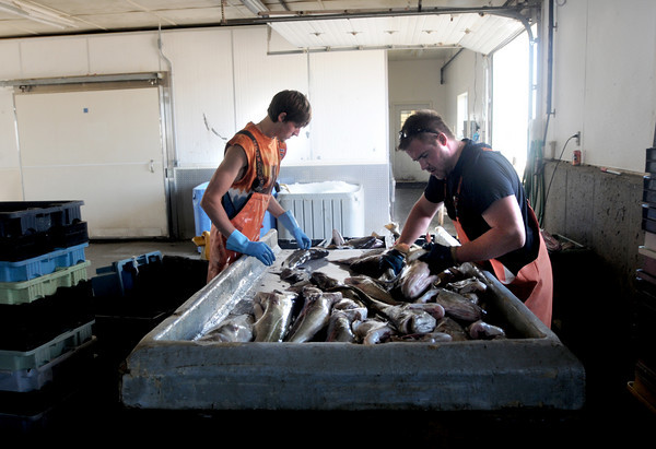 Seabrook: Wayne Barrett, right , and Darren Locke, both of Seabrook sort cod at the Fisherman's Coop in Seabrook Friday morning. Jim Vaiknoras/Staff photo
