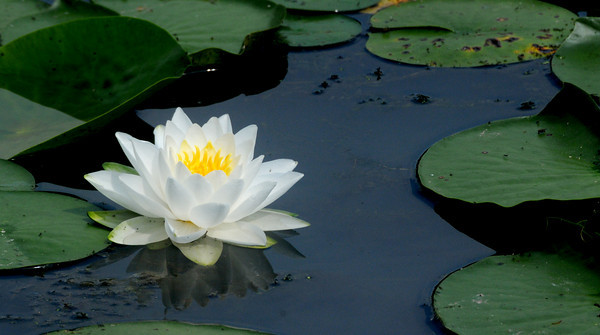 Amesbury: A water lily is reflected in Patten Pond in Amesbury Sunday morning. Jim Vaiknoras/Staff photo