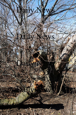 Newbury: The historic grove of apple trees at Spencer-Pierce Little farm in Newbury was damaged by last weeks storm that raged through the area. Photo by Ben Laing/Staff Photo
