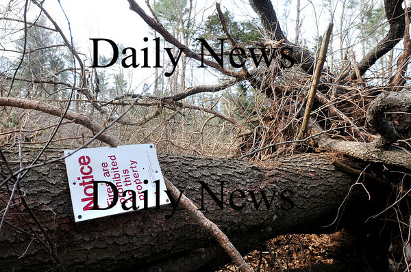 Newburyport: One of the large trees on top of Old Town Hill in Newbury knocked down by last week's wind storm. Bryan Eaton/Staff Photo