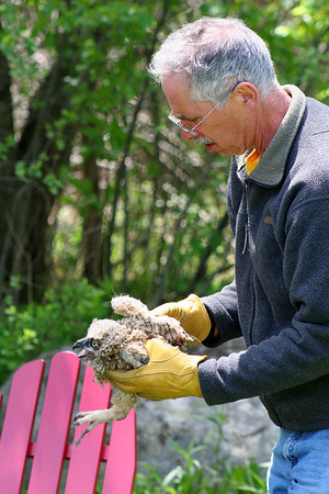 Newburyport: A baby owl that fell from a tree on Fox Run Drive in Newburyport is checked out by Dave Taylor. The owl was fine and returned to a nearby tree. Photo by Ben Laing/Staff Photo
