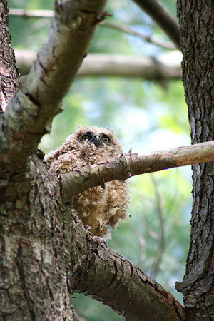 Newburyport: A baby owl fell from a tree on Fox Run Drive in Newburyport Monday afternoon, but was placed back in a nearby tree by Dave Taylor, a local wildlife rehabilitator. Photo by Ben Laing/Staff Photo
