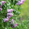 Newburyport: Lilac bushes, like these near Maudslay State Park in Newburyport, are in bloom. Photo by Ben Laing/Staff Photo