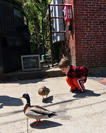 Newburyport: Gus Guilbault, 4, of Amesbury, greets a pair of ducks wandering around Liberty Street in Newburyport Tuesday afternoon, as he and his mother were leaving Starbucks. Photo by Ben Laing/Staff Photo