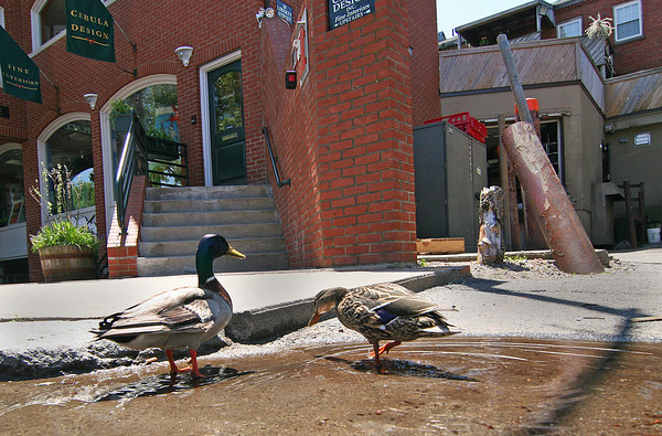 Newburyport: A pair of ducks wander around downtown Newburyport Tuesday afternoon, stopping to splash around in a puddle on Liberty Street. Photo by Ben Laing/Staff Photo