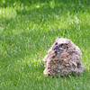 Newburyport: A baby owl fell from a tree at a home on Fox Run Drive in Newburyport Monday afternoon. Photo by Ben Laing/Staff Photo