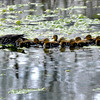 Newburyport: A mother duck leads her ducklings along in the small pond near the River Valley Charter School on Low Street in Newburyport. Jim Vaiknoras/Staff photo