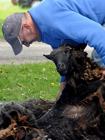 Newbury: Richard Rosenburg of Amesbury gives a sheep shearing demonstration at the Spencer-Pierce Little Farm Sunday at the 15th annual Dratf Plow Day. Jim Vaiknoras/Staff photo