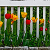 Byfield: A row of tulips grow along a Main Street in Byfield. Jim Vaiknoras/Staff photo