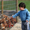 Amesbury: Andrew Constantino, 3, of Seabrook, feeds the chickens at Cider Hill Farm in Amesbury Wednesday afternoon. Andrew, his mom, and twin sister come everyother day to feed the chickens. Photo by Ben Laing/Staff Photo