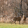 Rowley: A pair of deer skirt the edge of a field along Rt. 1A in Rowley Tuesday afternoon, before running off into the tall grass. Photo by Ben Laing/Staff Photo