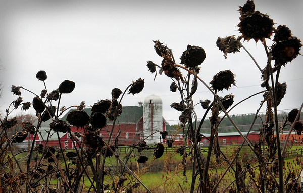 Amesbury: Dead sunflowers at the Amesbury Community Garden at Battis Farm frame this silo on South Hampton Road. Other than cold-resistant plants as Brussels sprouts, the season is about over for gardners there. Bryan Eaton/Staff Photo