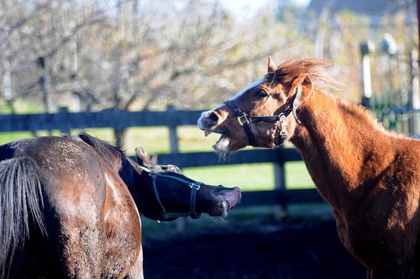 Newbury: Rescue horse Montoya and Abu play at the Oak Valley Farm in Newbury. Jim Vaiknoras/Staff photo