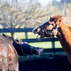 Newbury: Rescue horse Montoya and Abu play at the Oak Valley Farm in Newbury. Jim Vaiknoras/Staff photo