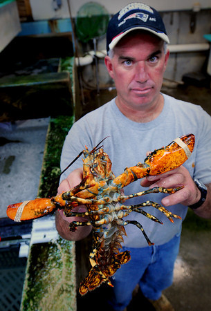 Seabrook: Haverhill lobsterman Todd Smith, who is part of the Yankee Fisherman's Co-op in Seabrook, caught this calico lobster just off the coast. Bryan Eaton/Staff Photo