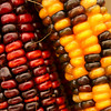 Newbury: Indian corn hangs at Tendercrop Farm in Newbury. Photo by Ben Laing/Staff Photo