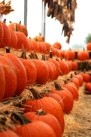 Newbury: The shelves are stocked with pumpkins at Tendercrop Farm in Newbury with the fall harvest well underway. Photo by Ben Laing/Staff Photo