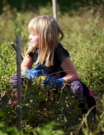 Amesbury: Hannah Webber, a third grader at Amesbury Elementary School, searches for tomatoes in the schools garden Wednesday afternoon. Photo by Ben Laing/Staff Photo