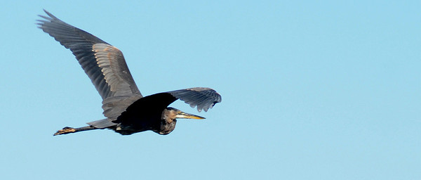 Salisbury: A great blue heron flyes over the salt marsh near Salisbury Beach Reservation Saturday