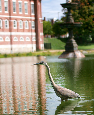 Newburyport: A great blue heron wades through the frog pond at the Mall in Newburyport Wednesday afternoon. Photo by Ben Laing/Staff Photo