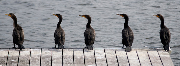 Amesbury: A quintet of cormorants sits on a dock on the Merrimack River in Amesbury Sunday night. Jim Vaiknoras/Staff photo