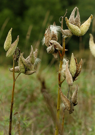 Amesbury: Two milk weeds, in a field of hundreds on Whitehall Road in Amesbury, are bursting with their silky-hairy seeds as fall is a week away. Bryan Eaton/Staff Photo