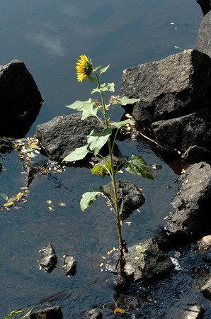 Amesbury: This sunflower has sprouted in a drought-proof spot in the Powow River below the footbridge in Amesbury's Upper Millyard. Bryan Eaton/Staff Photo