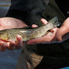 Pat Brown of First Light Anglers in Rowley shows a brown trout before its release in the area of the Mill River off Route One in Byfield across from the entrance to the Governor's Academy. Bryan Eaton/Staff Photo