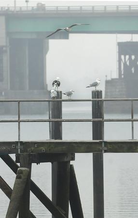 Newburyport: Seagulls perch on the pier at Cashman Park in Newburyport yesterday morning, the view of the Gillis Bridge softened by fog. Bryan Eaton/Staff Photo
