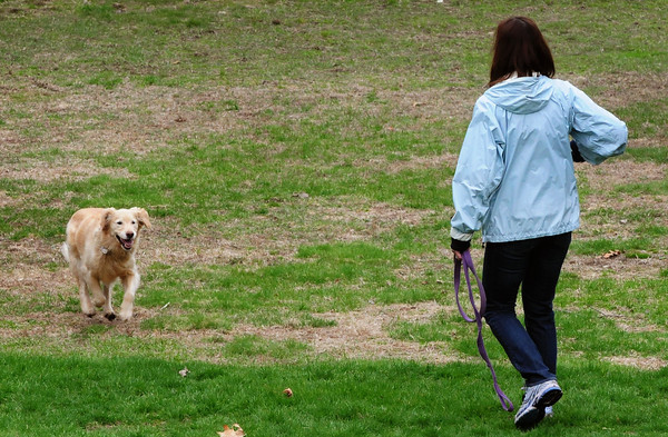 Newburyport: Maisy runs towards Jane Nickodemus of Newburyport as she romps around March's Hill in Newburyport unleashed which is now allowed at certain times in certain areas. Bryan Eaton/Staff Photo