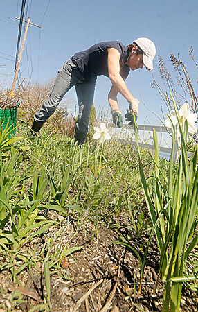 Newburyport: Jinna Barnes of Newburyport tends her garden on Water Street Friday morning. she expects it to be fully in bloom in a few weeks. Jim Vaiknoras/Staff photo