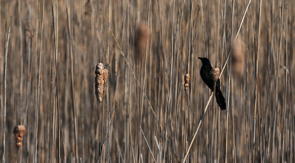 Newburyport: A black bird perches on some tall grass along teh plum Island Turnpike Sunday morning. Jim Vaiknoras/Staff photo