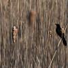Newburyport: A black bird perches on some tall grass along teh plum Island Turnpike Sunday morning. Jim Vaiknoras/Staff photo