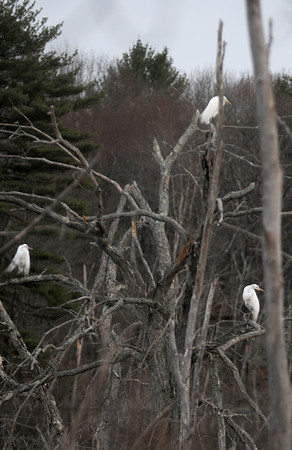 Newbury:  Three egrets perch on a dead tree along Scotland Road in Newbury late Saturday afternoon. Jim Vaiknoras/Staff photo