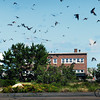"Salisbury: Like a scene from the Alfred Hitchcock film ""The Birds"" swallows fly around in huge numbers at Salisbury Beach State Reservation on Tuesday. Bryan Eaton/Staff Photo"