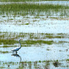 Seabrook: A great egret moves along a tide-covered marsh on Route 1A in Seabrook Wednesday afternoon just north of Route 286. Bryan Eaton/Staff Photo