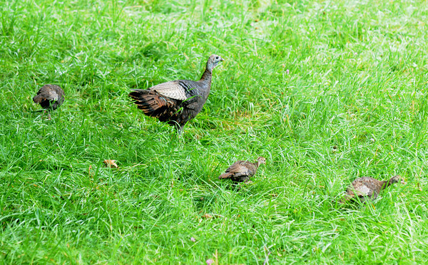 Amesbury: A mom turkey grazes with her poults in a field off Merrill Street in Amesbury Sunday. Jim Vaiknoras/Staff photo