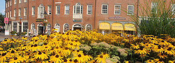 Newburyport:The buildings on East Row in Market Square appair to lay on a bed of Black-eyed Susans which grow at the intercection of State , Merrimack and Water Street in Newburyport. Jim Vaiknoras/Staff photo