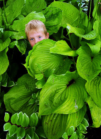 Newburyport: Cody Yeoman, 6, peeks out from what he called his house, a  bunch of hostas, at the Newburyport waterfront while looking for insects underneath. Five and six-year-olds at Boat Camp, located nearby, were studying the food web along the Merrimack River and are to head out onto the river on Friday. Bryan Eaton/Staff Photo
