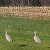 Rowley: Sandhill cranes having spending time near a corn field in Rowley on Route 1A just over the Newbury line. Their range is normally in the western United States and a corridor from Florida to the Great Lakes. Jim Vaiknoras/Staff Photo