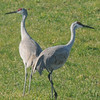 Rowley: A pair of sandhill cranes walk amonst a corn field along rt 1a in Rowley. Jim Vaiknoras/staff photo