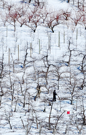 Amesbury: Two workers prune apple trees Wednesday at Cider Hill Farm in Amesbury as local farms start gearing up for the coming growing season. Bryan Eaton/Staff Photo