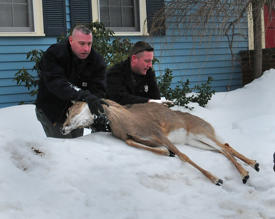 Newburyport: Massachusetts Environmental Police Lt. Roger Thurlow, left, and office Michael Lees move a tranquilized female deer into a waiting truck to transport and release at a nearby wildlife management area. The deer made its way into the home at 10 Temple Street in Newburyport when the occupant came home and found it in the back yard Saturday afternoon. She opened a fence gate for the animal to escape but it went into the home instead and only knocked over a bucket and chair. Bryan Eaton/Staff Photo