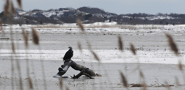 Newbury: A bald eagle perches on a log floating in the salt marsh along teh Plum Island Turnpike in newbury Monday afternoon. Jim Vaiknoras/Staff photo