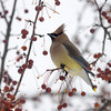 Newburyport: A ceder waxwing feasts on berries in Market Landing Park in Newburyport Sunday afternoon. Jim Vaiknoras/Staff photo