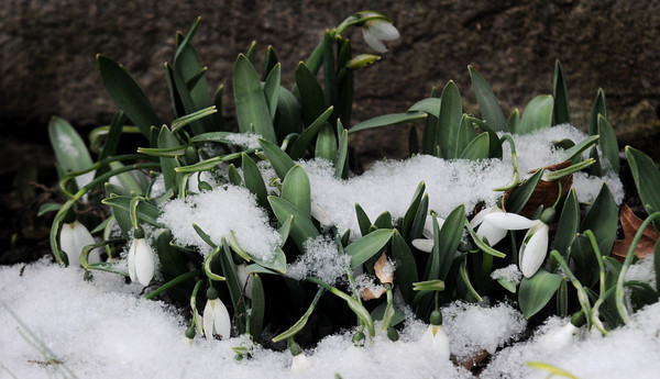 Newburyport: Snow Bells, like a bit of early spring, are covered with Monday mornings snow on Fruit Street in Newburyport. Jim Vaiknoras/Staff photo
