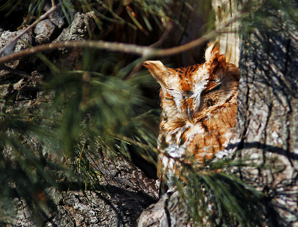 Salisbury: A screech owl soaks up the sun in a tree along Gerrish Way in Salisbury Monday afternoon. Photo by Ben Laing/Staff Photo