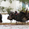 Newbury: A flock of wild turkeys invade a yard on Rolfe's Lane in Newbury Tuesday afternoon. Photo by Ben Laing/Staff Photo