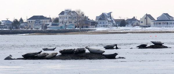 Salisbury: A bob of seals rests along a stretch of rocks exposed at low tide in mouth of the Merrimack River off Salisbury Reservation . jim vaiknoras/Staff photo
