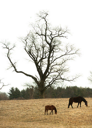 Salisbury: Two horses graze on the brown grass along Congress Street in Salisbury yesterday morning. They may have a harder time this weekend as snow is possible in the forecast. Bryan Eaton/Staff Photo